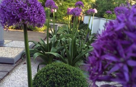 bepflanzungen allium
